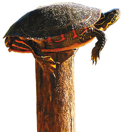 Turtle on Fence Post[3]