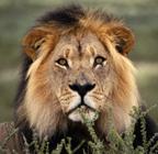 (Not actual lion)