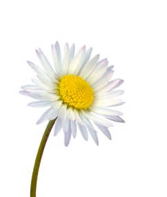 White common daisy flower isolated
