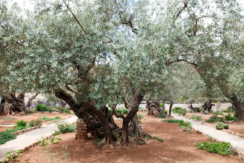 Garden of Gethsemane.Jerusalem